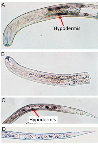 heterodera proteins FAR