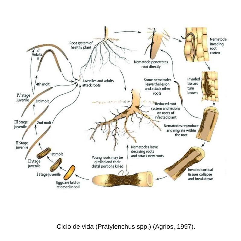 Ciclo de vida Pratylenchus