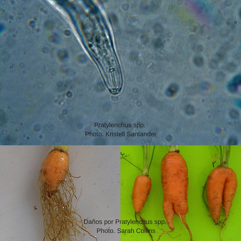 Pratylenchus spp
