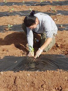 Plantando coliflor