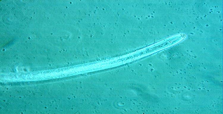 Nematodos fitoparásitos
