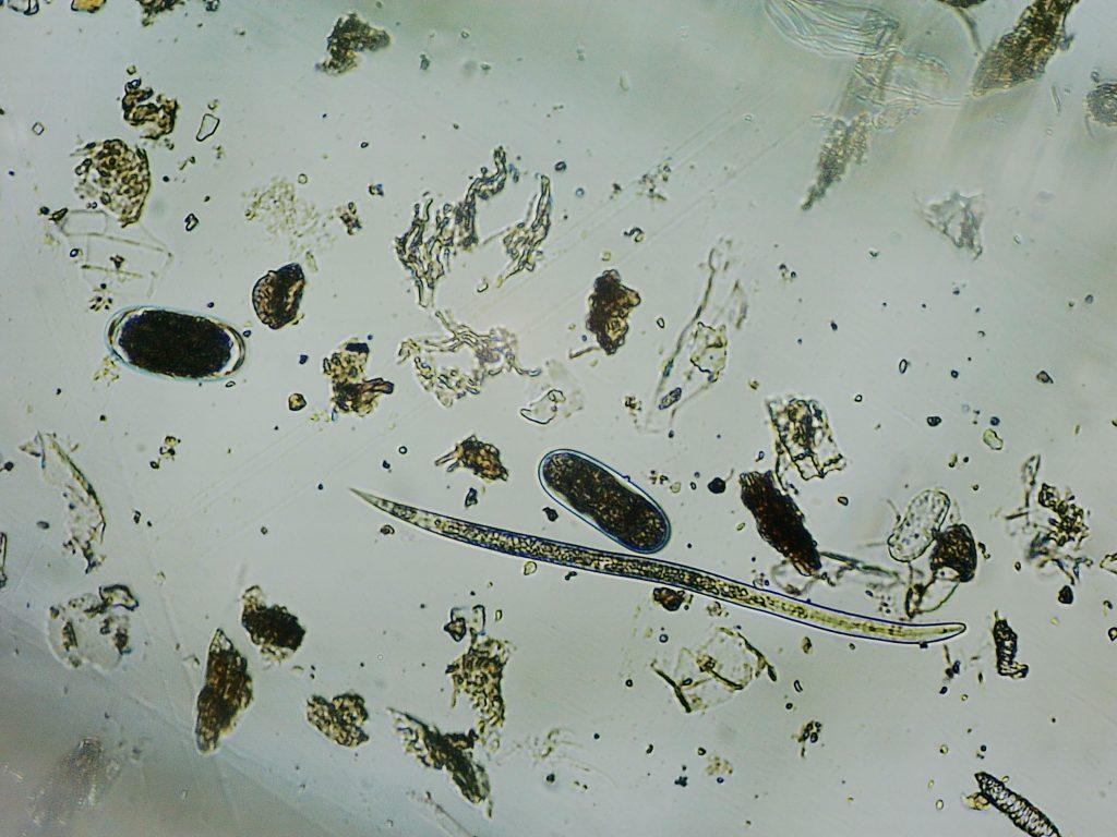 estudios con nematodos. huevos. in vitro.