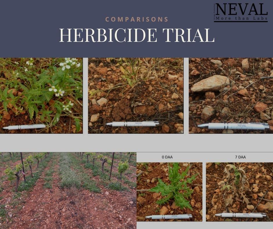 eficacia glifosato medida en 7 días y 14 días herbicida