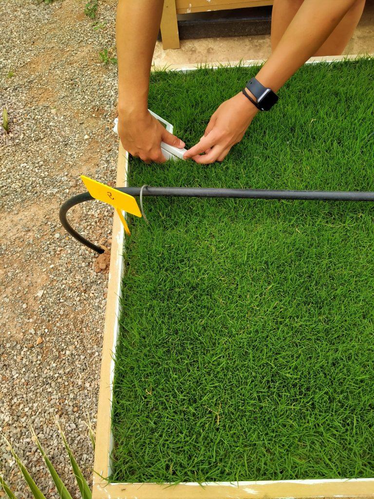 fertilizers turf fertilizantes céspedes ensayos demostrativos ICL MIVENA