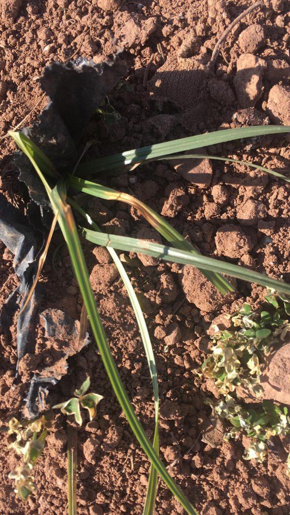 Juncia herbicidas