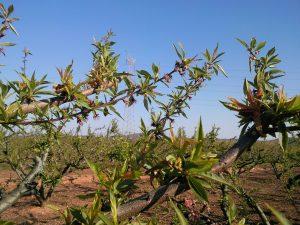 taprhina deformans stone fruits. frutal de hueso