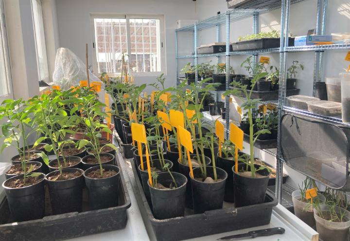 Ensayos con plantas en cámaras controladas NEVAL